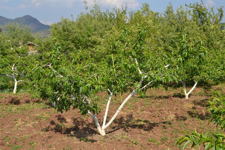 桃树简笔画 风景 步骤